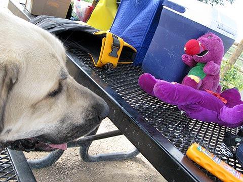 Spanish Mastiff Titus checks out Barney